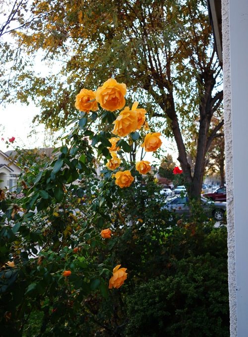 Yellow Roses, November Roses, Thanksgiving Roses, Winter Roses, Pruning Roses