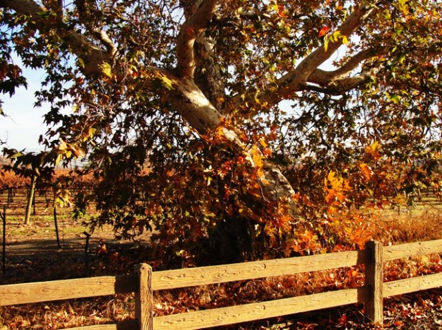 Colorful Old Tree, Fall Color, December Color, Livermore
