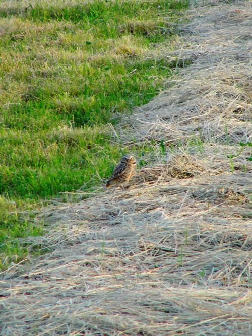 Western Burrowing Owl (Athene cunicularia hypugaea), Bird Habitat, Hay Field