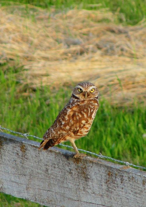 Burrowing Owl, Hoot, Newbery Honor Book