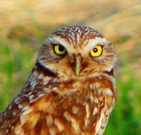 Western Burrowing Owl (Athene cunicularia hypugaea), Owls, Big Eyes