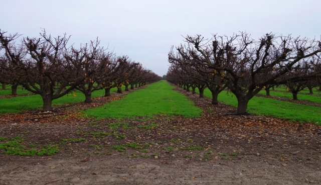 Late Fall Orchard, Rainy Season, Grass between trees in orchard, winter grass