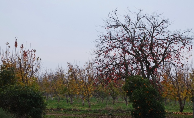 Cherry Orchard, Late Fall, Colorful trees, Persimmon Tree