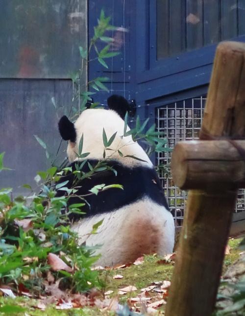 Giant Panda, Ueno Zoo, Japan, Tokyo Zoo, Bamboo