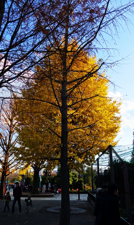 Yellow Tree, Yellow Leaves, Trees at the Zoo, Ueno Zoo, Tokyo, Japan