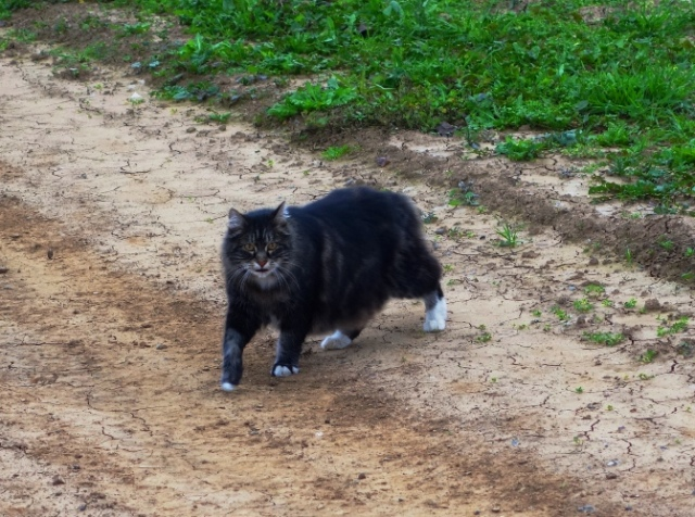 Tarragon, Cat, Barn Cat, Afternoon Walk