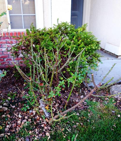 Pruned Rose Bush, Minimalist Pruning. January Roses