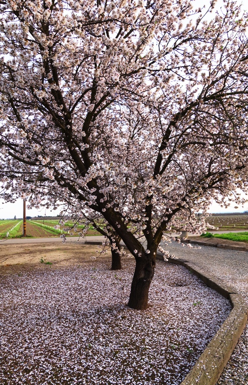 Almond Trees, Almond Blooms, White Blooms, February Blooms