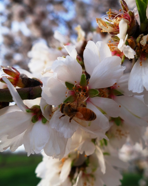 Almond Blossoms, Bees, Orchards, Honey, Spring