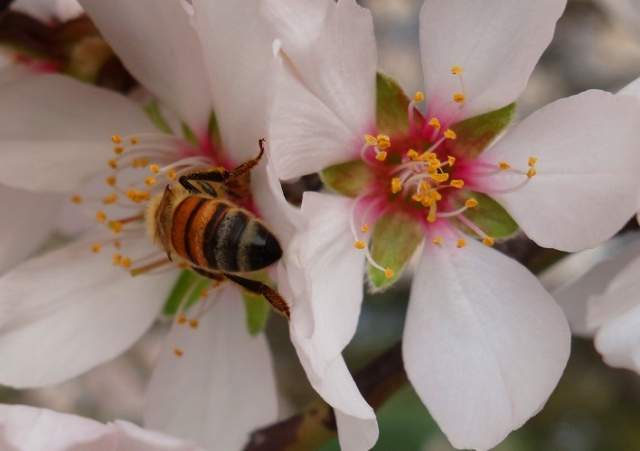 Bees, Blossoms, Honey Bees, Pollination, Orchards