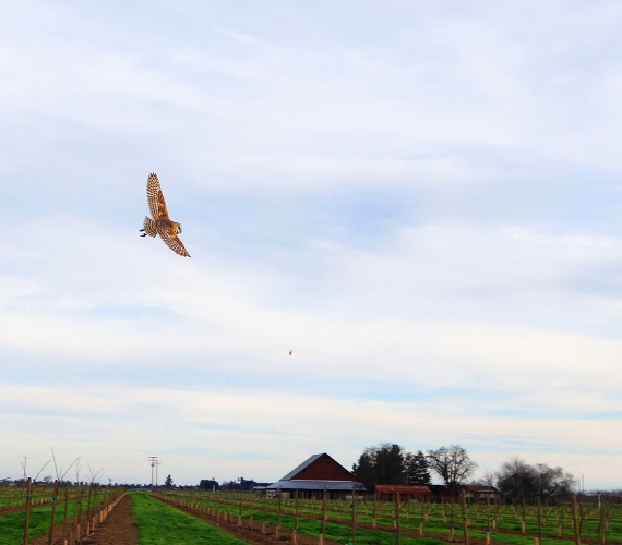 Barn Owl, Owl in Flight, Rodent control, Owl at Orchard