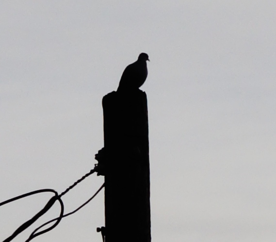 Pigeon on a Pole, Electric Pole, Birds