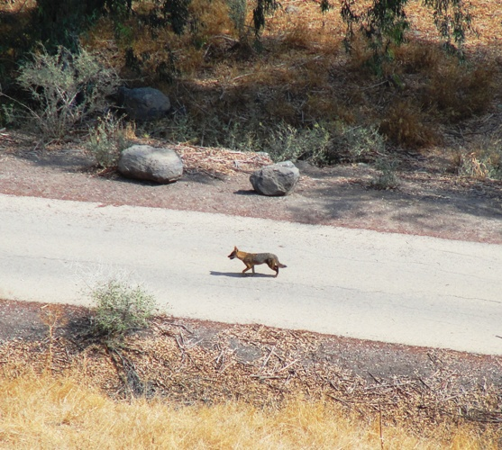 Red Fox, Israel, Tel Bet She'an, Herod the Fox