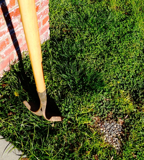 Digging Hole, Planting Rose, Rose Bush