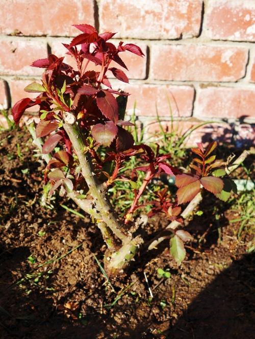 Mister Lincoln Rose Bush, Weeks Roses, Hybrid Tea, Swim, Weeks