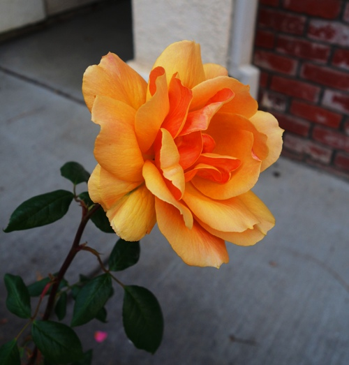 Orange rose, Winter Rose, Floribunda Rose, February Rose