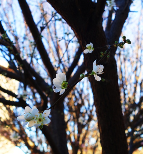 Plum Blossoms, White Blossoms, Plum Tree, Spring, Blossoming Tree