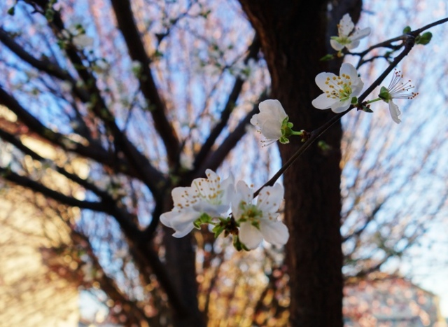 Plum Tree Blossoms, Spring Blossoms, Winter Blossoms, Seasonal Changes