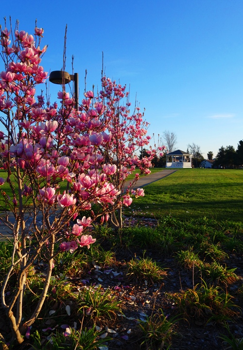 Magnolia Tree, Saucer Magnolia, Tulip Magnolia, Zanuzi Park, Gazebo