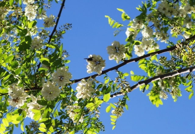 Pollination, Bees, Bumble Bees, blossoms, White Blossoms