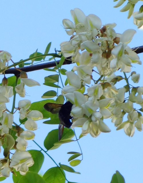 Black Locust Tree, Bumble Bee, pollination, White Blossoms, Trees