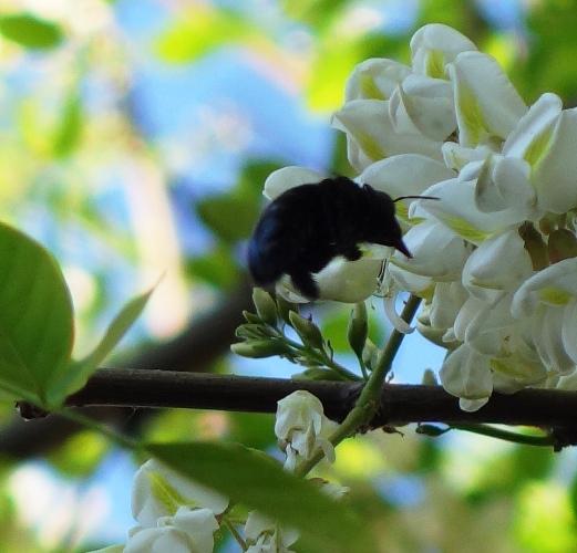 Black Bee, Pollination, Black Locust Blossoms