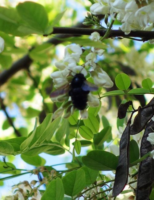 Black Bee, Pollination, Black Locust Tree, Spring