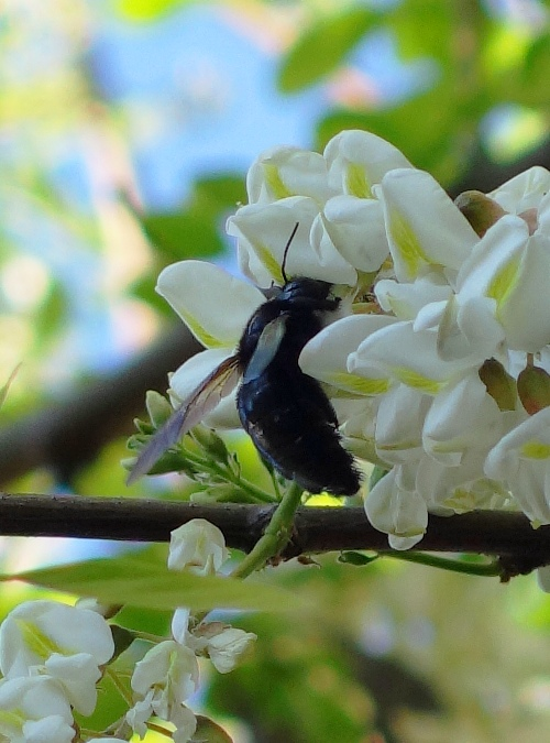 Bee, Pollinating, Spring Time, Blossoms, Black Locust
