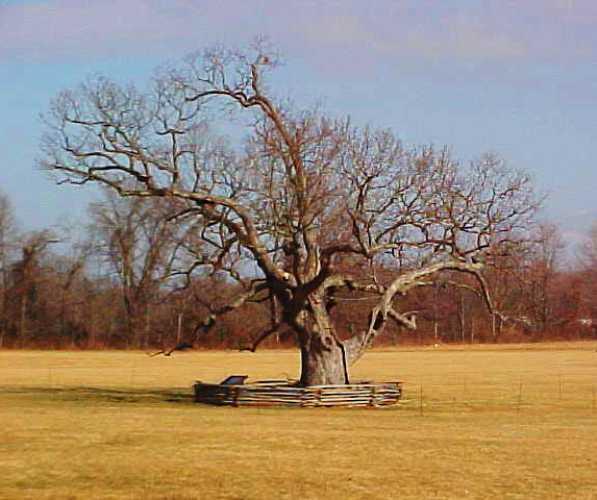 Mercer Oak, Princeton Battlefield Park, IQ, Albert Einstein