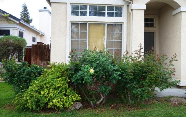 Front Yard, Rose Bushes, spring greening, springtime, Roses