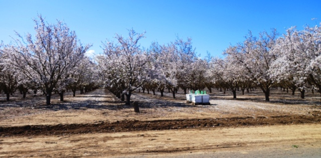 Almond Orchard, Blossoming Orchard, White Blossoms, Bees, Apiary, Bee Hives