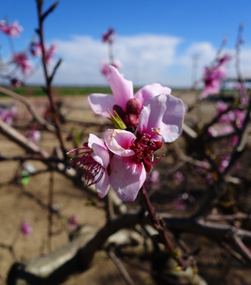Peach Blossoms, Pink Blossoms, Spring Blossoms