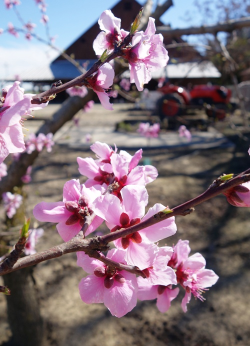 Peach Blossoms, Blossoms, Spring Blossoms, Barn, Tractor