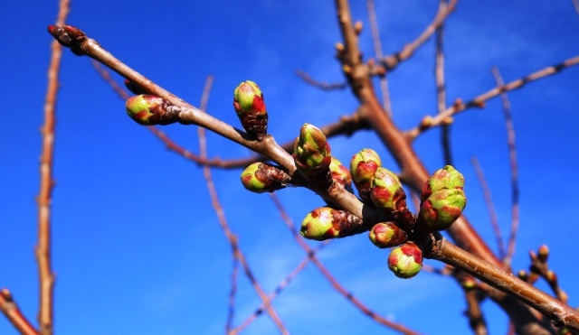Tree Buds, Signs of Spring, Leaf Buds