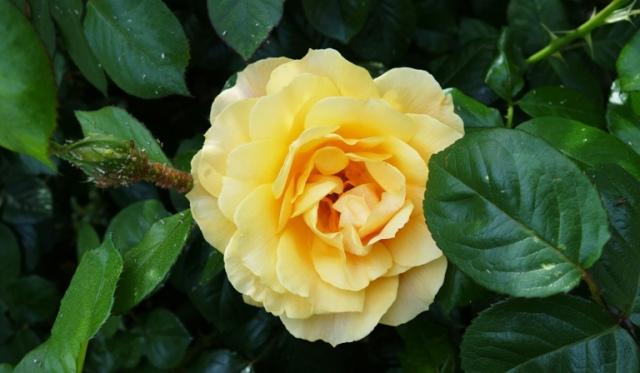 First Rose, Rose Bush, Yellow Rose, Aphids, Floribunda