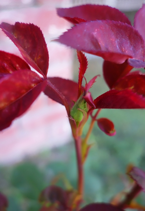 Rose Bud, Mister Lincoln, Rose Bush, New Growth, Spring
