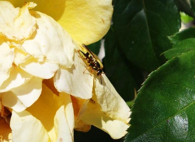 Hornets, Roses, Yellow Roses, Floribunda, Flora and Fauna