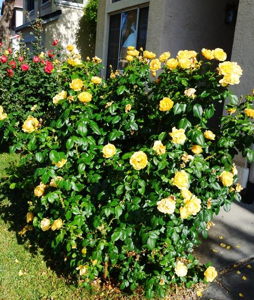 Rose Bush, Yellow Floribunda Rose, Roses, Yard Work