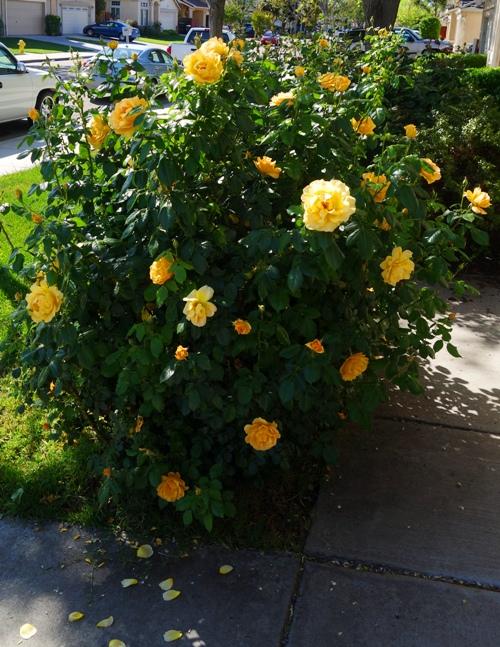 Spring Roses, Yellow Floribunda Roses, Yellow Roses, Spring, California