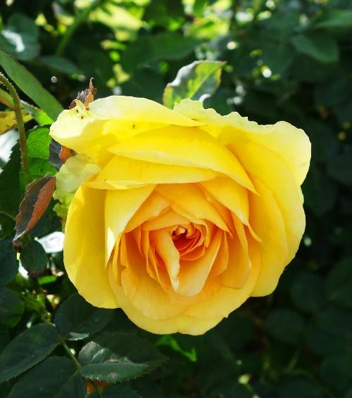 St. Patrick Rose, Yellow Rose, Spring Rose, Rose Blooming