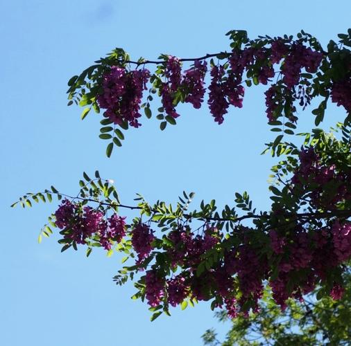Purple Blooms, Purple Robe Locust, Idaho Locust, Robinia Ambigua,