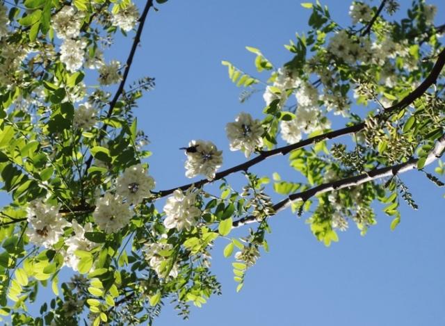 Black Locust, Bumblebee, Polination, Spring