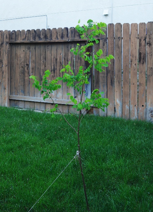 Black Locust Tree, Backyard, Grass, Lawn, Spring