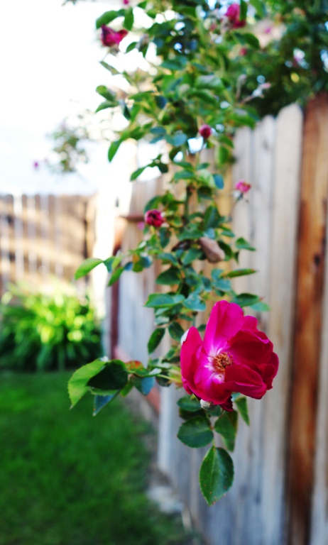 Rose, Fence, Backyard, Spring, Spring has Sprung