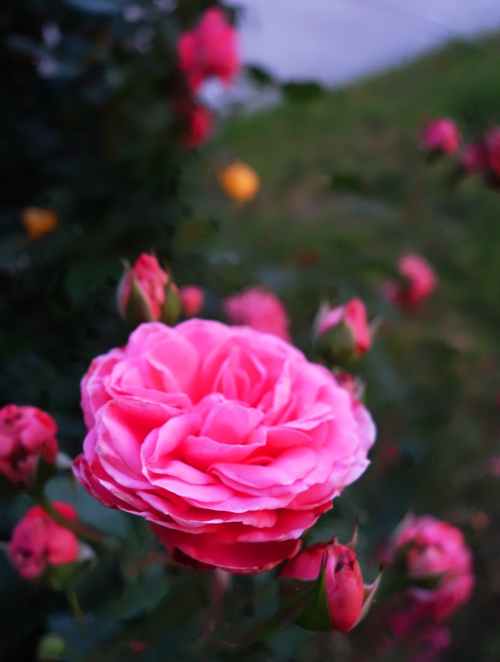 Pink Rose Bush, Floribunda, Roses at dusk