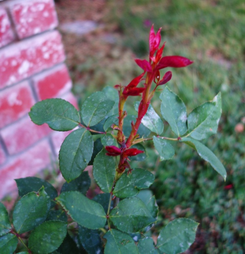 Mister Lincoln Rose, Rose Bush, New Growth, Spring Growth
