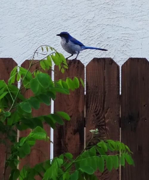 Western Scrub Jay, Aphelocoma californica, birds, Backyard, Spring