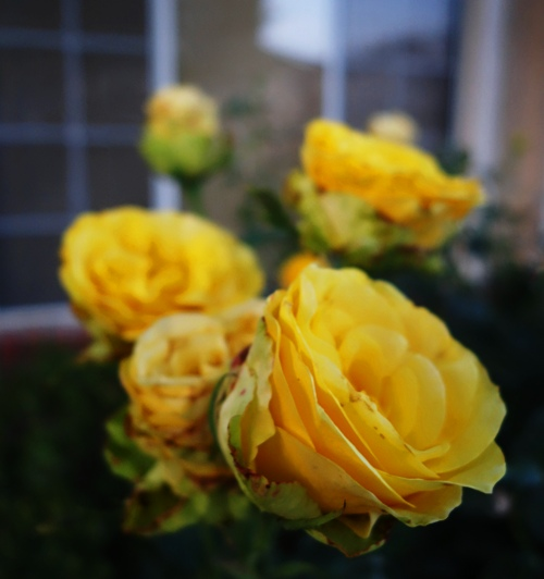Dusky Yellow Rose, St. Patrick Rose, Rose at Dusk, Yellow Roses
