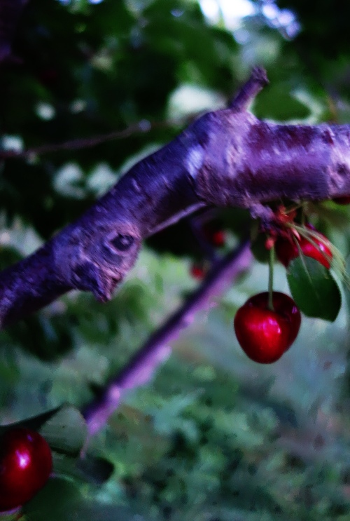 dusk, cherries, orchard, cherry orchard, dusk