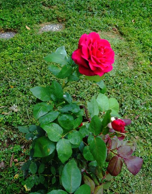 Mister Lincoln, Rose Bush, Red Rose, Rose Blooms, Fragrant Rose